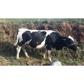 Mini Vacas/ Boi