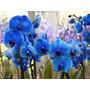 Orquidea Azul Real Exoticas Raras Semillas