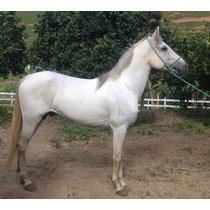 Cavalo Mangalarga Marchador Tordilho