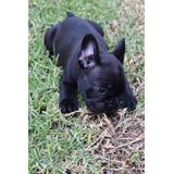 Cachorro Bulldog Francés Oferta!!!