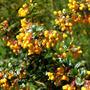Plantas Calafate, Berberis Darwinii Michay
