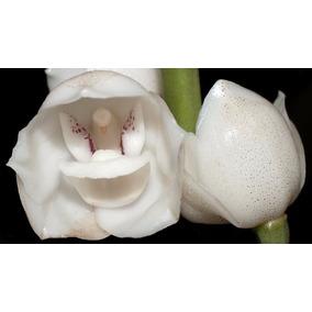 10 Sementes Orquídea Peristeria Elata Pomba Do Espirito