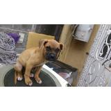 Hermoso Cachorro Boxer Excelente Linea