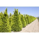 Pinos - Leylandii Aurea - Plantines De 15 Cm De Altura