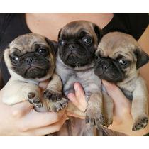 Cachorros Pug Emely Pets C/ Vacuna, Alimento Y Garantía