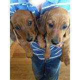 Cachorros Salchichas Enanos