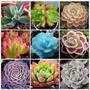 10 Sementes Cactos Lithops Suculenta Pseudotruncatella Flor