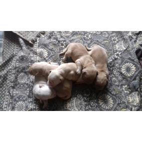 Vende-se Filhotes De Golden Femea R$ 800 Macho R$ 700