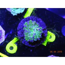 Frogspawn Puntas Moradas Coral
