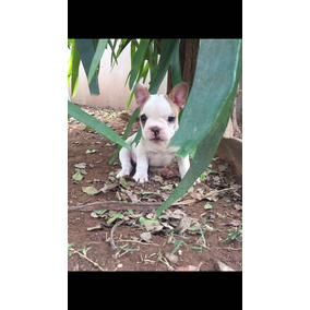 Vende-se Filhotes De Bulldog Francês