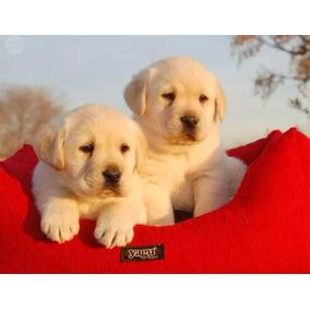 Labrador Retriever Cachorros De Las Mejores Lineas