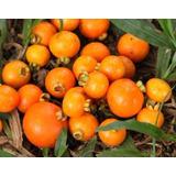 4 Gabiroba Amarela Fruta Guavira Tam. P 20cm* Mudas Serrado