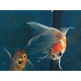 Venta De Goldfish Orandas Ver Variedades En Descripción