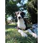 Adopción Cachorra Galgo Border Collie Mix Leer Condiciones