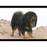 Perros Mastin Tibetano