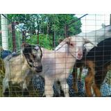 Rebaño De Cabras (caprinos) Mestizas Lecheras