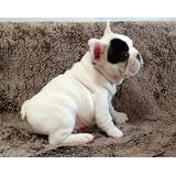 Bulldog Frances Cachorros Vaquita Aptos Fcm.
