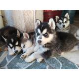 Cachorros Legitimos Huski Siberianos