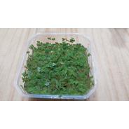 Azolla Filiculoides - Porção - 8x8 Cm