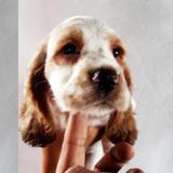 Cachorro Cocker Spaniel Ingles Macho