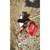 Mis Mascota Chihuahas Ratoneros Los Bendo A Un Buen Presio