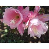 06 Mudas De 6 Epiphyllum Cactos Orquídea Belli Plantas