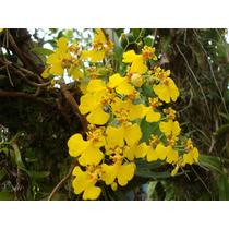 Muda De Orquídea Chuva De Ouro- Planta Adulta Belíssima!!