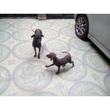Cachorros Xoloitzcuintle