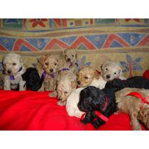 Cachorros De Caniches Mini Toy , Gasper Criadero Ituzaingo