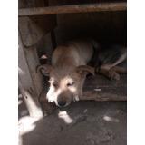 Cachorrito En Adopcion Hembra De 3 Meses