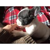 Cachorro Bulldog Frances Macho