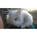 Conejos Enanos Leoncito Teddy De Un Mes De Edad