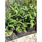 Planta De Magnolia Grandiflora Blanca Vivero Mayorista