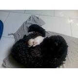 Cachorros Poodle Mini Toy ..