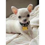 Chihuahua Cachorros En Oferta