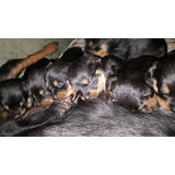 Vendo Cachorros Rott Wailer Puros