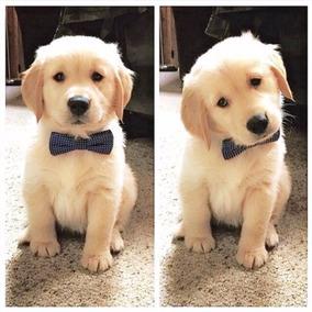 Cachorros Golden Retriever Maxima Pureza + Kit De Bienvenida