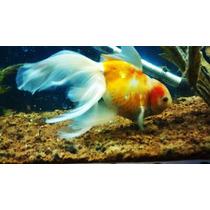 Pez Japones Goldfish De Velo Jumbo