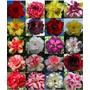 10 Sementes De Rosas Do Deserto Bonsai Várias Cores P/ Mudas
