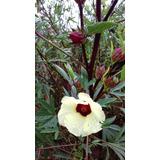 20 Sementes Hibiscus Sabdariffa Cucha Cuxa Quiabo Vermelho