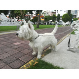 West Highland White Terrier Para Montas