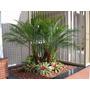 (2 Mudas) Palmeira Phoenix Fenix Ornamental Tam.peq 15cm*