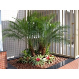 (5 Mudas) Palmeira Phoenix Fenix Ornamental Tam.peq 15cm*
