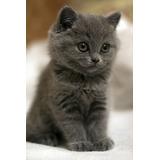 Gato Azul Ruso Cachorros Gatitos
