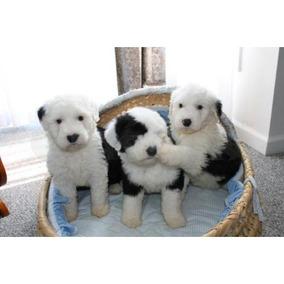 Cachorros De Perro Pastor Inglés Macho Y Hembra Para Adopció