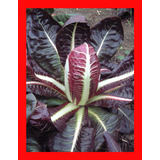 Endivia Italiana Rossa Di Verona 200 Semillas Para Plantas