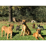 Hembra Bullmastiff Adulta Adopcion