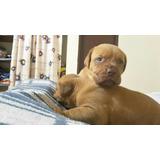 Vendo Dogos Dogo De Burdeos Cachorro Puro Garantizados