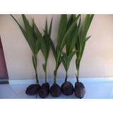 7 Mudas De Coqueiro Coco Anão Precoce Verde Grande
