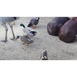 Patos Marruecos Adulto Jóven.